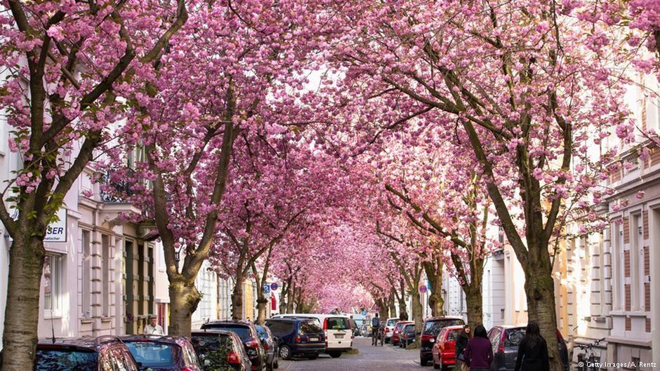 Bonn'da kiraz çiçekleri turistlerin gözdesi galerisi resim 1