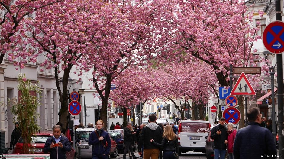 Bonn'da kiraz çiçekleri turistlerin gözdesi galerisi resim 3
