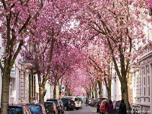 Bonn'da kiraz çiçekleri turistlerin gözdesi