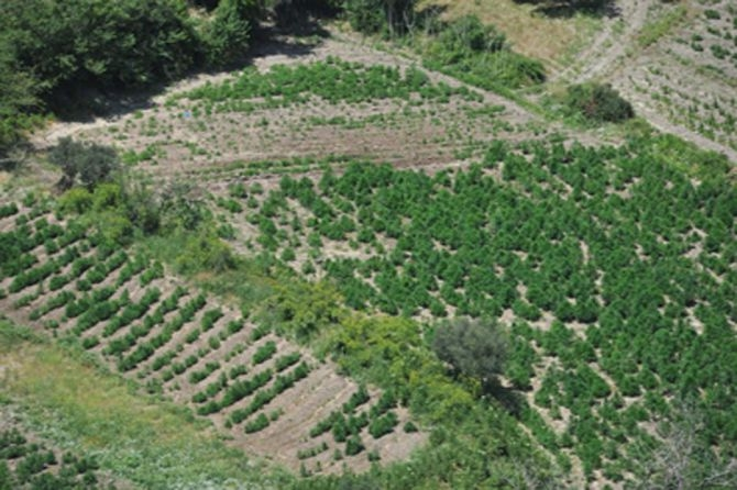 Ekili binlerce ton esrarın hasadı başlıyor! DEVLET NEREDE? galerisi resim 7
