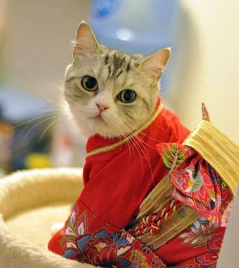 Japonya'da kimono ve kediler artık birbirleriyle sıklıkla anılır oldu galerisi resim 2