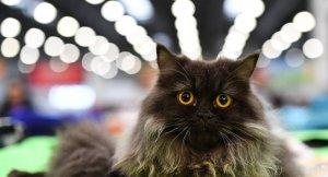 ABD'li çiftten ilginç 911 çağrısı: Kedimiz bizi rehin aldı