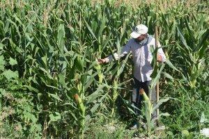 Çiftçilerin mısır umudu!