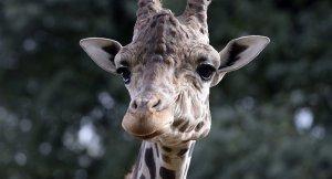 Çiftleşmeye götürülen zürafa panik atak geçirerek öldü