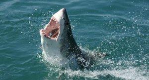 Köpek balıkları 500 yıl yaşayabiliyor