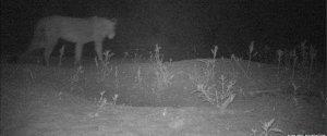 Etiyopya kırsalında yeni bir aslan grubu bulundu