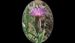 106 yıllık kayıp çiçek bulundu