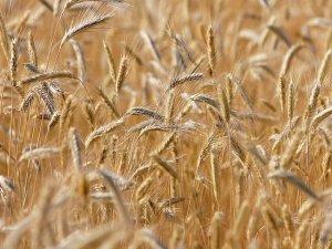 İlaç devi Bayer, dünyanın en büyük tohum üreticisi oldu