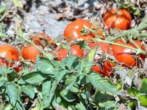 Fazla üretim domatesin fiyatların dibe vurmasına yol açtı