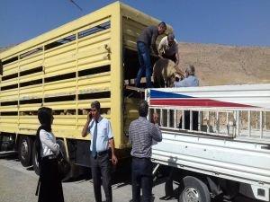 Hasankeyf'te genç çiftçilere hayvanlar dağıtılıyor