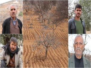 Antep fıstığı üreticisi kuraklık mağduru
