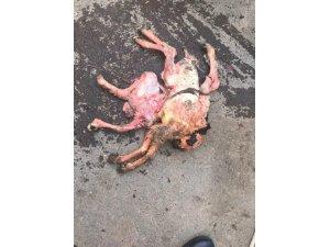 8 bacaklı kuzu ölü doğdu