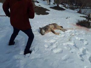 Köye inen aç kurt köpeklerin saldırısına uğradı