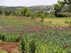 Haşhaş tohumu ihracatının yüzde 93'ü Hindistan'a yapıldı