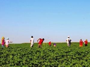 Mevsimlik tarım işçilerinin günlük ücretlerinde artış