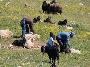 Koyun kırkma dönemi başladı