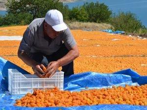 Kayısı diyarı Malatya'da hasat zamanı