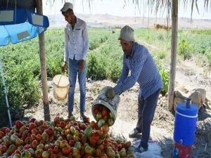 45 derecenin altında domates hasadı yapıyorlar