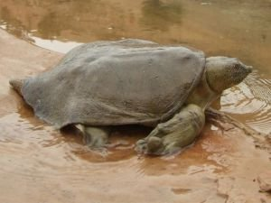 Nesli tükenmeyle karşı karşıya olan Fırat kaplumbağaları Dicle Nehrinde görüldü