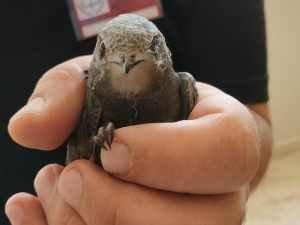 Okul içerisinde ebabil kuşu bulundu