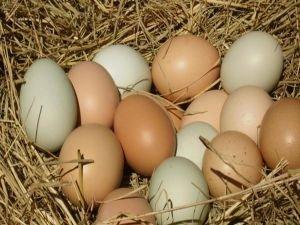 Yumurta üreticilerine mısır desteği