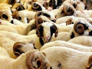 150 bin hayvanın soy kütüğü oluşturulacak