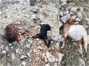 Aç kurtlar sürüye saldırdı