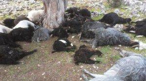 Babasına öfkelendi! 239 keçiyi telef etti