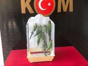 Gaziantep'te 8 Pakistan papağanı ele geçirildi