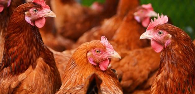 23 ton antibiyotikli Türk tavuğunu geri yollayacak
