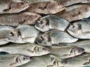 Balıklarımız Balkanlara yüzecek