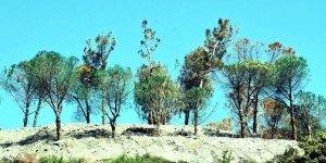 Ağaçları yeşile boyayan şirket, şimdi de ağaçları kesti