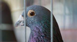 IŞİD'in Posta güvercini yakalandı!