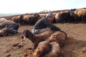 Koyun kırkma zamanı
