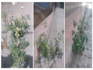 Nusaybin caddelerinde domates yetişti