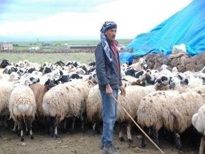 Kobani'den gelen aile çobanlık yaparak geçiniyor