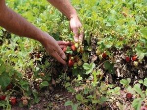 Dolu yağışı çilek tarlalarını vurunca çiftçiler mağdur oldu