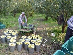 Ceviz büyüklüğündeki dolu meyve bahçelerini vurdu