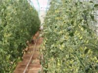 Van'da domates üreticileri için eğitim serası