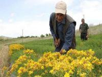 Bingöl'de sarı kantaron bitkisinin hasadı başladı