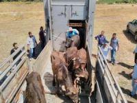 Genç çiftçilere hayvan dağıtımı yapıldı