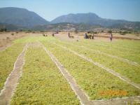 Çekirdeksiz kuru üzüm ihracatı 400 milyon doları aştı