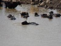 Büyükbaş hayvanların gölet keyfi