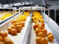 Satsuma mandalina ihracatında aslan payı Rusya'nın