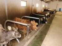"""Skandal! Çiftçilere hibe edilen hayvanlar """"hastalıklı çıktı"""" iddiası"""