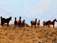 Yıllar önce bırakılan atlar Raman bölgesinin simgesi oldu
