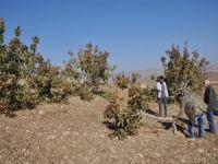 19 yıllık emeği fıstık ağaçlarını kestiler