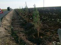 Kızıltepe'de 13 bin çam ağacı dikimine başlandı