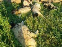 Köye inen kurtlar 6 kuzuyu telef etti