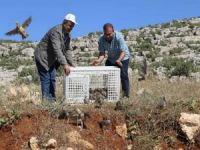 500 kınalı keklik doğaya bırakıldı
